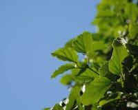 vine för 001 leaf Royaltyfri Bild