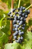 vine för 5 druvor arkivfoton