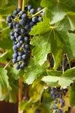 vine för 9 druvor Arkivfoto
