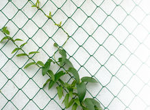 Vine on a fence Stock Photography