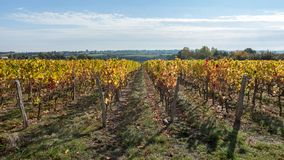 Vine field in autumn color. With the horizon of the landscape under a beautiful blue sky mediterranean stock photo