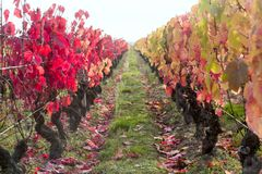 Vine field in autumn. With colorful leaves Royalty Free Stock Photography