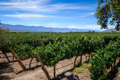 Vine field in cafayate, Argentina Royalty Free Stock Photos