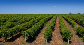 Vine fields Stock Photos