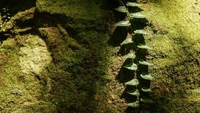 Green vine climbing up moss covered rock royalty free stock images
