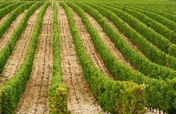 Vine of france. Vineyard in the south of france Royalty Free Stock Photography