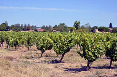 Vine in the Gaillac region in France Stock Photos