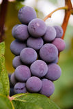 Vine Grape Stock Image