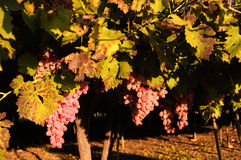 Vine with grape. Vine with bunch of pink grape - autumn Stock Photo