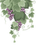 Vine grape Royalty Free Stock Photos