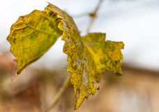 Vine grape leaf Royalty Free Stock Photography