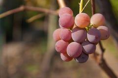 Vine grape rose. Bunch of rose  grape vine in vineyard Stock Images