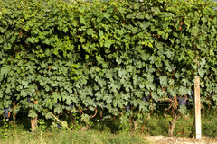 Vine with Grape Stock Photography