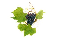 Vine grape and vine leaf Stock Photography