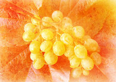 Vine grape - vintage stylized picture Stock Images