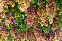 Vine grapes. Bulgarian natural asthma with red grapes Royalty Free Stock Image