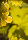Vine grapes. On green  background Stock Photo