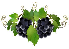 Vine grapes. Black vine ripe grapes with green leaves Stock Images