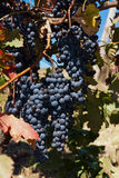 Vine grapes Royalty Free Stock Photo