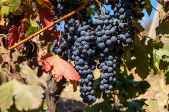 Vine grapes stock photos