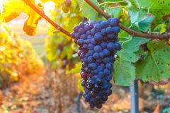Vine grapes in champagne region in autumn harvest stock photography