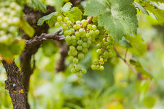 Vine grapes, fruit ready for harvest. Royalty Free Stock Photography