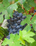 Vine grapes, grape harvest in Italy. Stock Photography