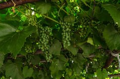 Vine grapes Royalty Free Stock Photos
