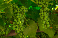 Vine grapes Stock Images