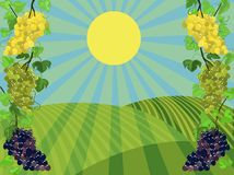 Vine. Grapes grow under a bright sun against the background of fields Stock Photo