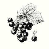 Vine of Grapes Royalty Free Stock Images