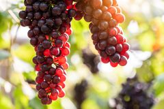 Vine grapes at harves. Agriculture autumn berry cabernet dalmatian fall farm field food franc fresh fruit grand grapevine green grow healthy junction leaf royalty free stock photos