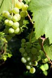 Vine grapes Royalty Free Stock Image