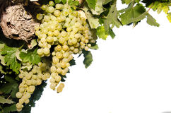 Vine with grapes on white background Stock Images
