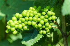 Vine green grape in champagne vineyards at montagne de reims. France royalty free stock images