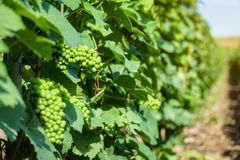 Vine green grape in champagne vineyards at montagne de reims. France royalty free stock photos