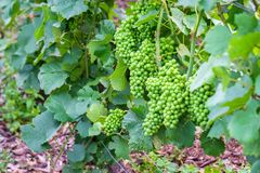 Vine green grape in champagne vineyards at montagne de reims. France royalty free stock image