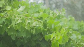 The vine and green leaves of the grapes stagger under a heavy rain and wind. During a storm stock video