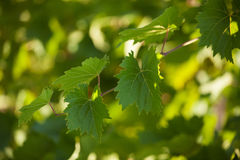 Vine with green leaves Royalty Free Stock Photo