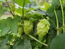 Trio of Cascade Hop cones on vine stock image