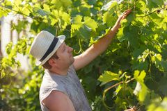 Vine grower is checking white grape in the vineyard by sunny weather. On sunset Stock Photo
