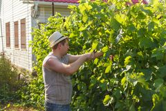 Vine grower is checking white grape in the vineyard by sunny weather. On sunset Stock Images
