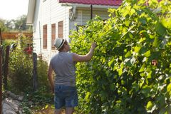 Vine grower is checking white grape in the vineyard by sunny weather. On sunset Stock Photos