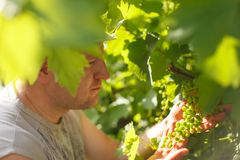 Vine grower is checking white grapevine in the vineyard by sunny weather. On sunset Royalty Free Stock Images