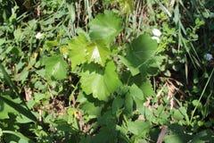 Vine growes in my organic garden. stock images