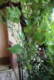 Vine growes in my organic garden. royalty free stock photo