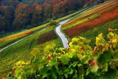 Vine growing Stock Photo