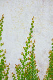 Vine growing on a brick wall Royalty Free Stock Image