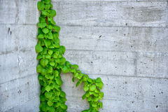Vine Growing on a Building Wall Stock Photography