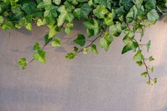 Vine growing on concrete wall royalty free stock photos